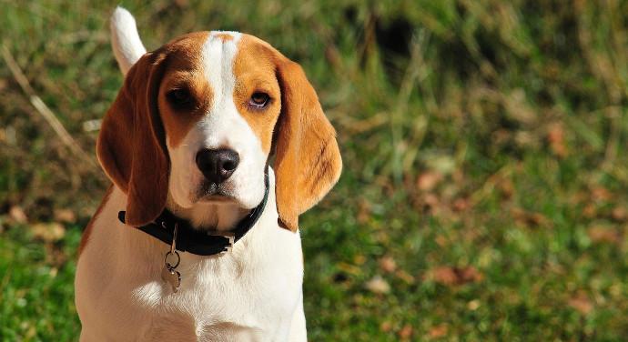 Beagle Rassebeschreibung
