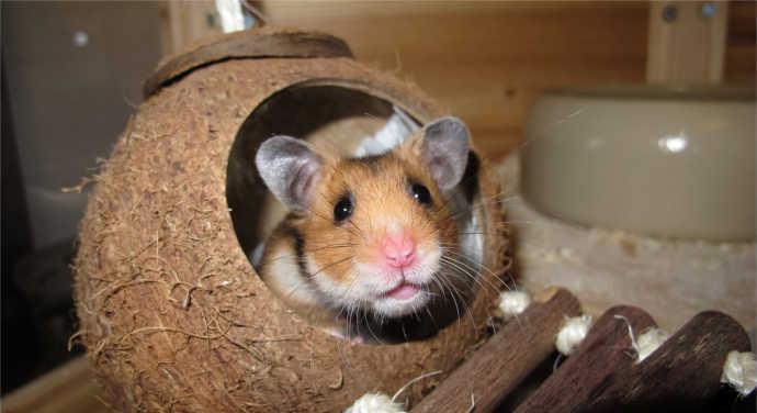 Hamster eingewöhnen – so funktioniert eine sanfte Eingewöhnung