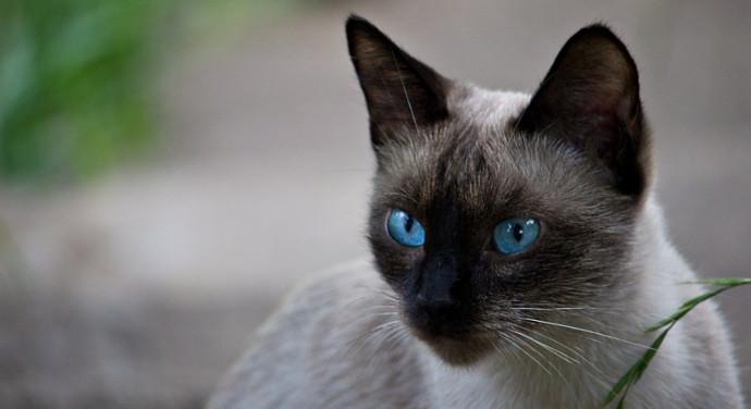 Welche Katzenrasse passt zu mir?